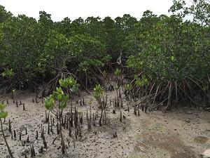 小浜島マングローブ林