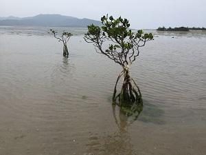 小浜島マングローブ