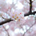 桜,清水公園