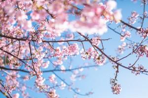桜,高尾山