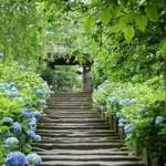 鎌倉明月院のあじさい開花時期の混雑状況は?空いてる見頃はいつ?