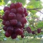 ふるさと納税おすすめ高級果物ランキング2016!人気フルーツ特産品