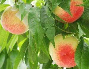 山梨県桃狩り小野洋蘭果樹園