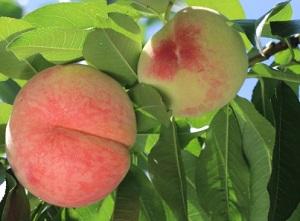 山梨県桃狩り松里果樹園