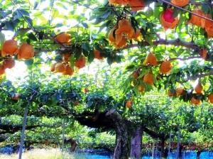 鳥取梨狩り味果園