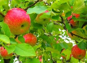 原農園りんご狩り