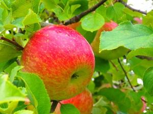 原遊覧園りんご狩り