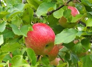 小林農園りんご狩り