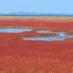 能取湖サンゴ草群落の見頃時期とお祭り!満潮干潮やアクセス情報