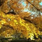 新宿御苑の紅葉の見頃時期2016!混雑状況と営業時間アクセス情報