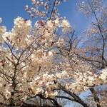 高尾山一丁平の桜の開花予想2017!混雑状況とおすすめ花見コース情報
