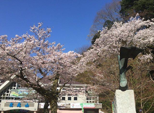 高尾山口駅前桜見頃