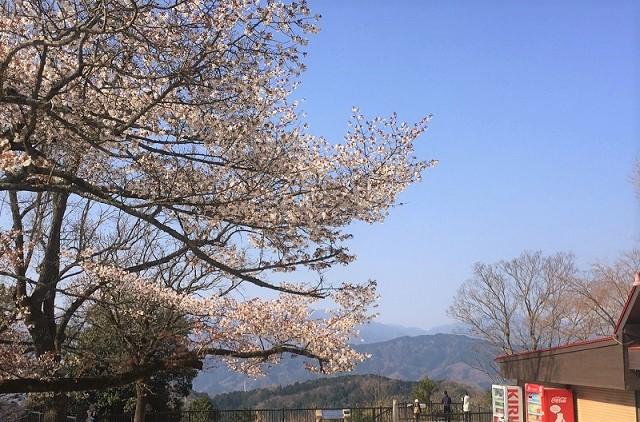 高尾山山頂桜見頃時期