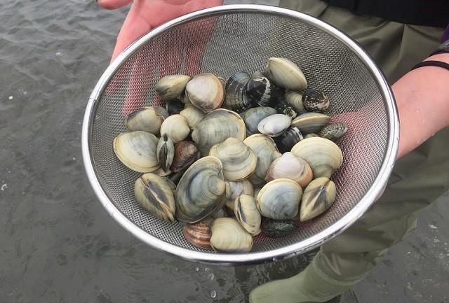 千葉ポートタワー潮干狩り貝収穫