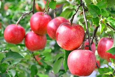 青森県ふるさと納税りんご